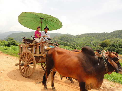 Ox Cart Ride in Thailand