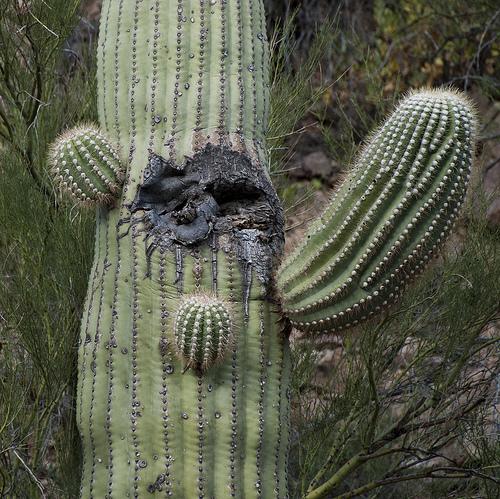 Aramco Reunion: Cactus (6)